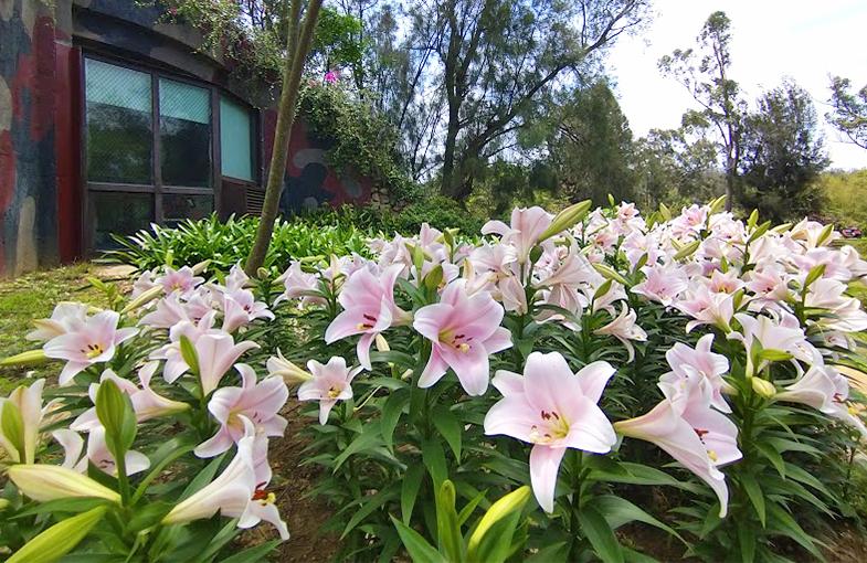 當「百合」綻放時 金門植物園的百合物語